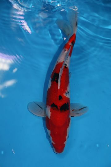 "Sanke-Koi For Sale 13"" 0582"